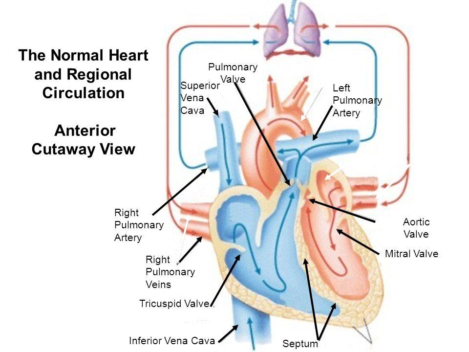 The Normal Heart and Regional Circulation Anterior Cutaway View Pulmonary Valve Superior Vena Cava Aorta Left Pulmonary Artery Right Pulmonary Artery