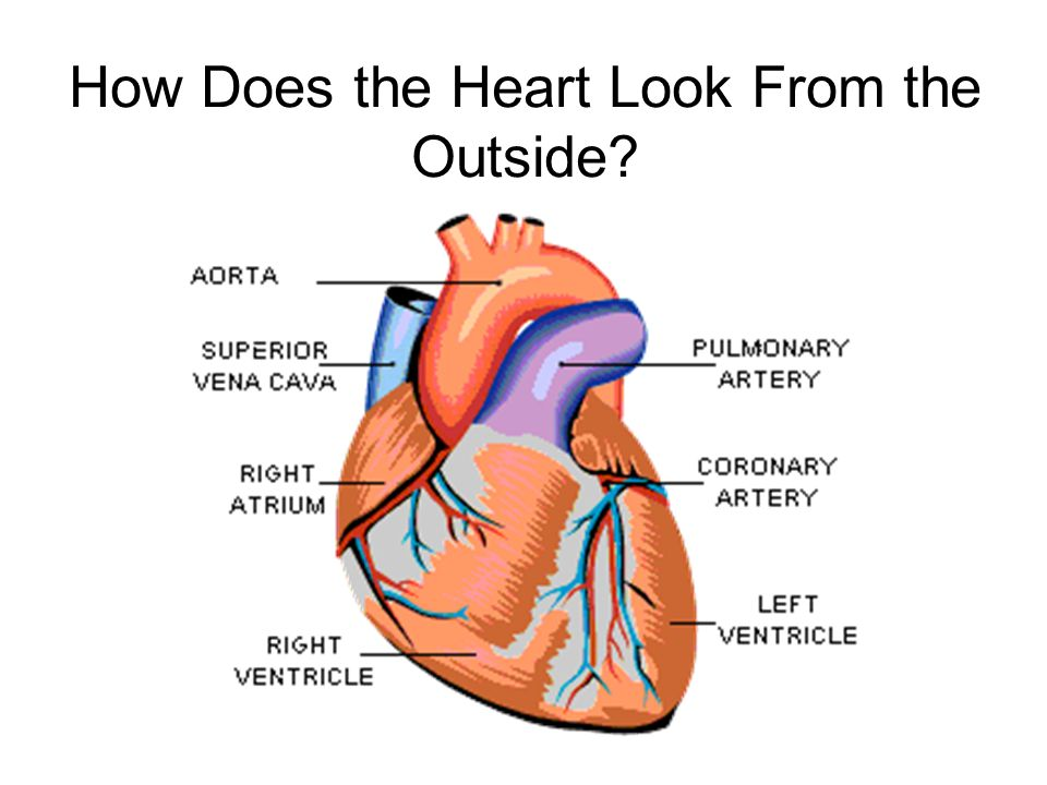 Then….Into the Lungs Exits the heart through the Pulmonary Valve Ventricles Contract Enters Pulmonary Trunk Then Into Lungs PV MPA RPA LPA