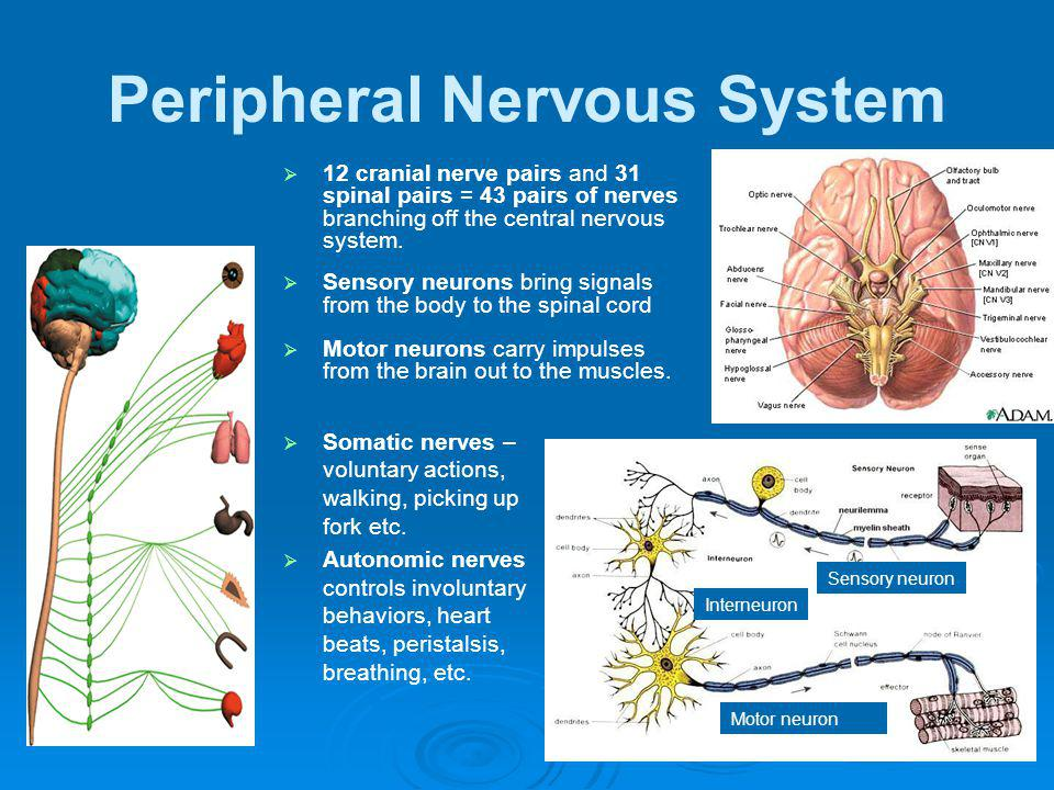 Peripheral Nervous System 12 cranial nerve pairs and 31 spinal pairs = 43 pairs of nerves branching off the central nervous system. Sensory neurons br
