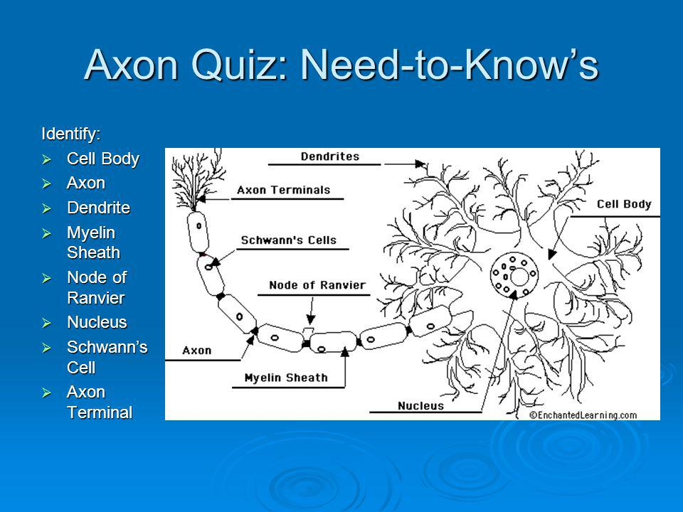 Axon Quiz: Need-to-Knows Identify: Cell Body Cell Body Axon Axon Dendrite Dendrite Myelin Sheath Myelin Sheath Node of Ranvier Node of Ranvier Nucleus