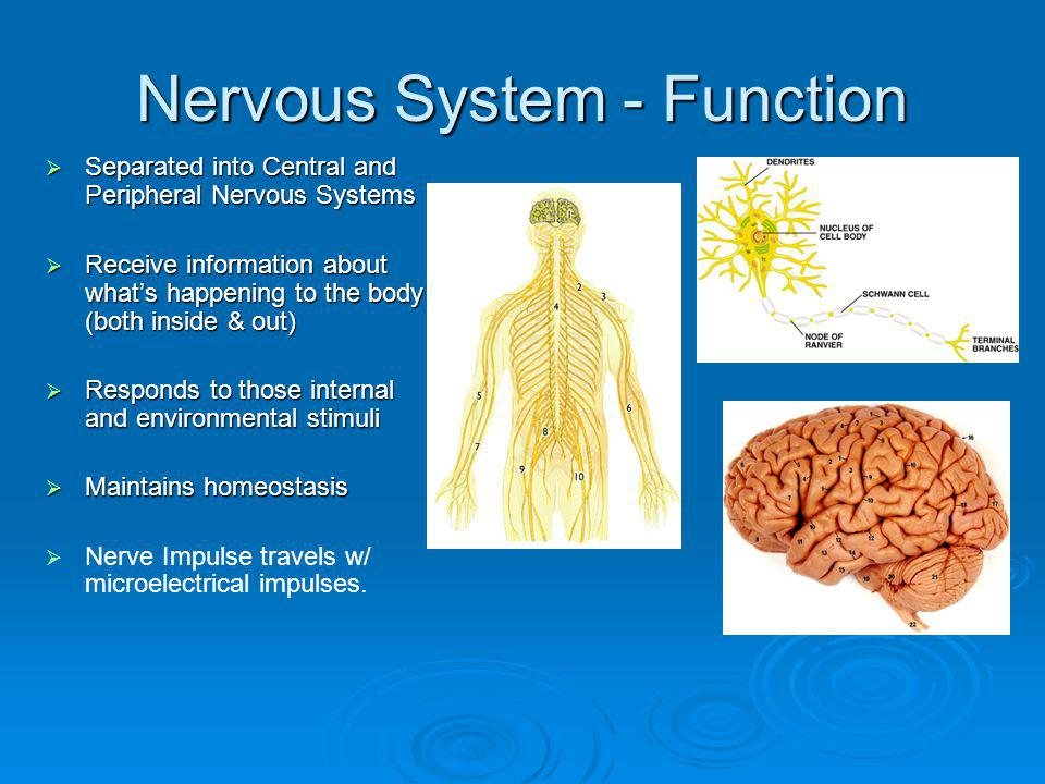 Peripheral Nervous System 12 cranial nerve pairs and 31 spinal pairs = 43 pairs of nerves branching off the central nervous system.