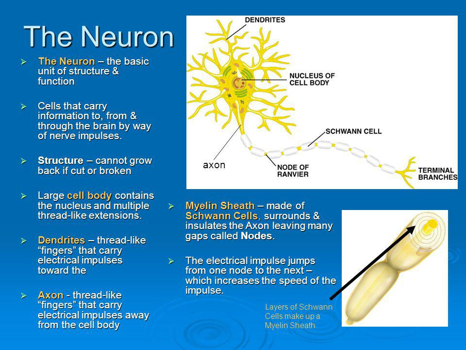 The Neuron The Neuron – the basic unit of structure & function The Neuron – the basic unit of structure & function Cells that carry information to, fr