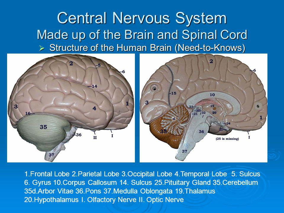 Central Nervous System Made up of the Brain and Spinal Cord Structure of the Human Brain (Need-to-Knows) Structure of the Human Brain (Need-to-Knows)