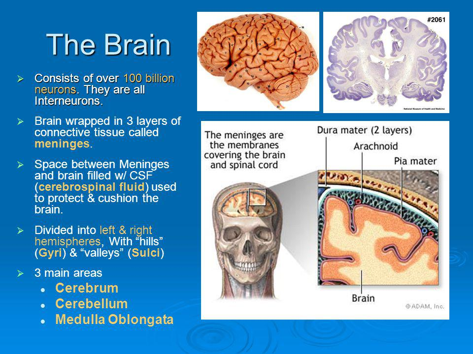 The Brain Consists of over 100 billion neurons. They are all Interneurons. Consists of over 100 billion neurons. They are all Interneurons. Brain wrap