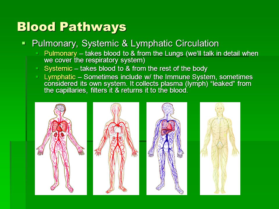 Blood Pathways Pulmonary, Systemic & Lymphatic Circulation Pulmonary, Systemic & Lymphatic Circulation Pulmonary – takes blood to & from the Lungs (we