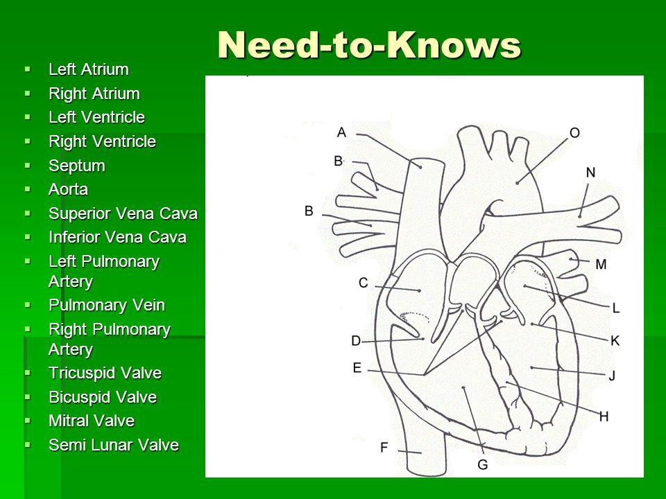 Need-to-Knows Left Atrium Left Atrium Right Atrium Right Atrium Left Ventricle Left Ventricle Right Ventricle Right Ventricle Septum Septum Aorta Aort