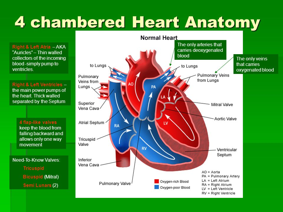 4 chambered Heart Anatomy The only veins that carries oxygenated blood The only arteries that carries deoxygenated blood Right & Left Atria – AKA Auri