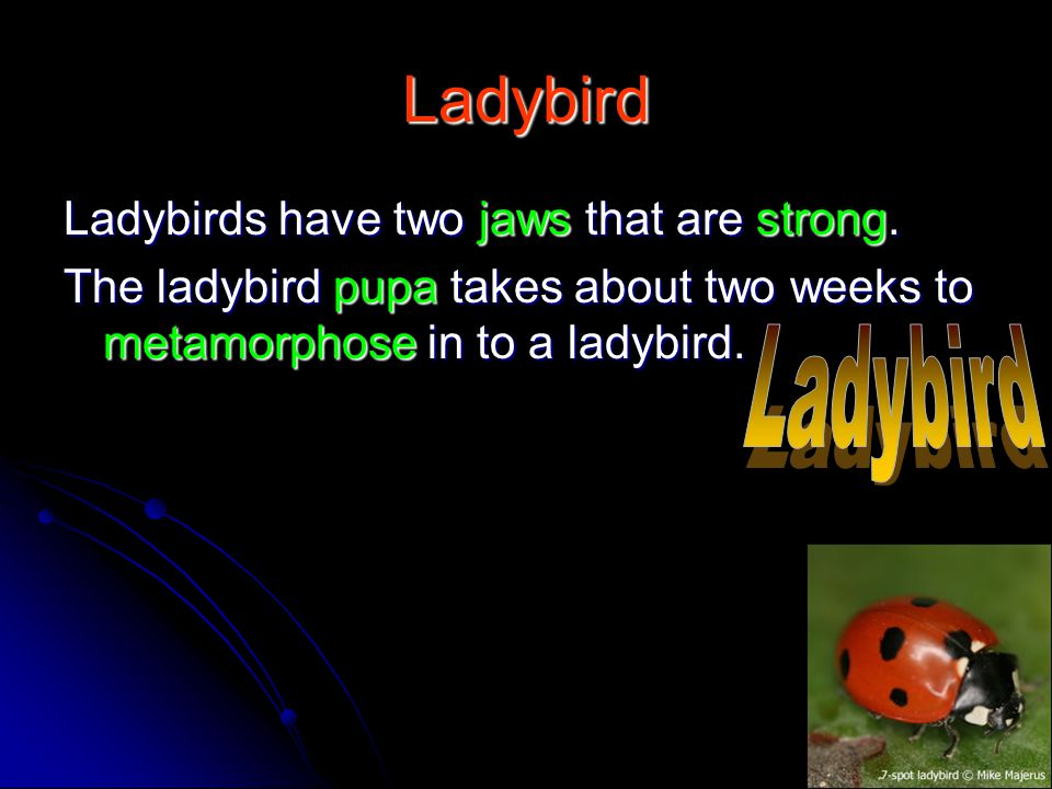 Ladybird Ladybirds have two jaws that are strong. The ladybird pupa takes about two weeks to metamorphose in to a ladybird.