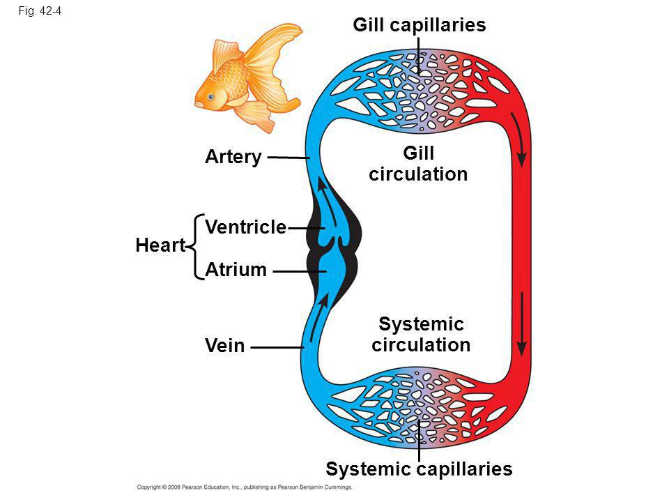 Fig. 42-4 Artery Ventricle Atrium Heart Vein Systemic capillaries Systemic circulation Gill circulation Gill capillaries
