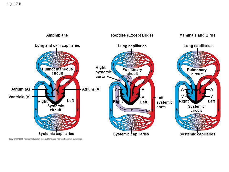 Fig. 42-5 Amphibians Lung and skin capillaries Pulmocutaneous circuit Atrium (A) Ventricle (V) Atrium (A) Systemic circuit Right Left Systemic capilla