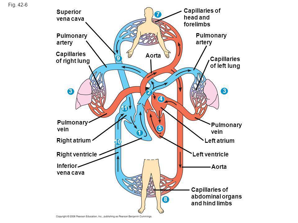 Fig. 42-6 Superior vena cava Pulmonary artery Capillaries of right lung 3 7 3 8 9 2 4 11 5 1 10 Aorta Pulmonary vein Right atrium Right ventricle Infe