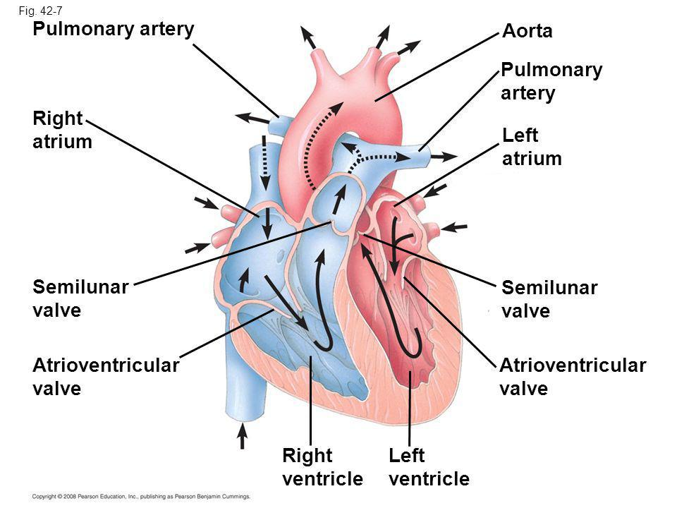 Fig. 42-7 Pulmonary artery Right atrium Semilunar valve Atrioventricular valve Right ventricle Left ventricle Atrioventricular valve Left atrium Semil