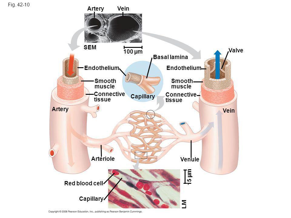 Fig. 42-10 ArteryVein SEM 100 µm Endothelium Artery Smooth muscle Connective tissue Capillary Basal lamina Endothelium Smooth muscle Connective tissue
