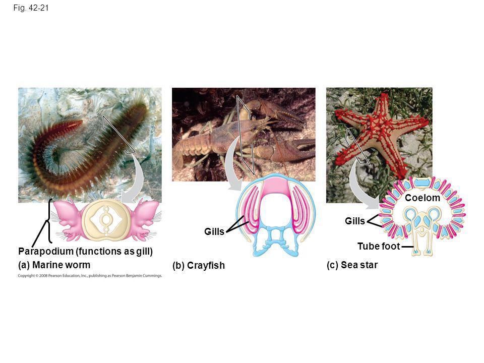 Fig. 42-21 Parapodium (functions as gill) (a) Marine worm Gills (b) Crayfish (c) Sea star Tube foot Coelom Gills