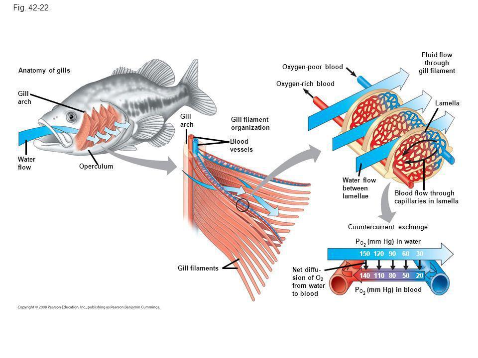 Fig. 42-22 Anatomy of gills Gill arch Water flow Operculum Gill arch Gill filament organization Blood vessels Oxygen-poor blood Oxygen-rich blood Flui