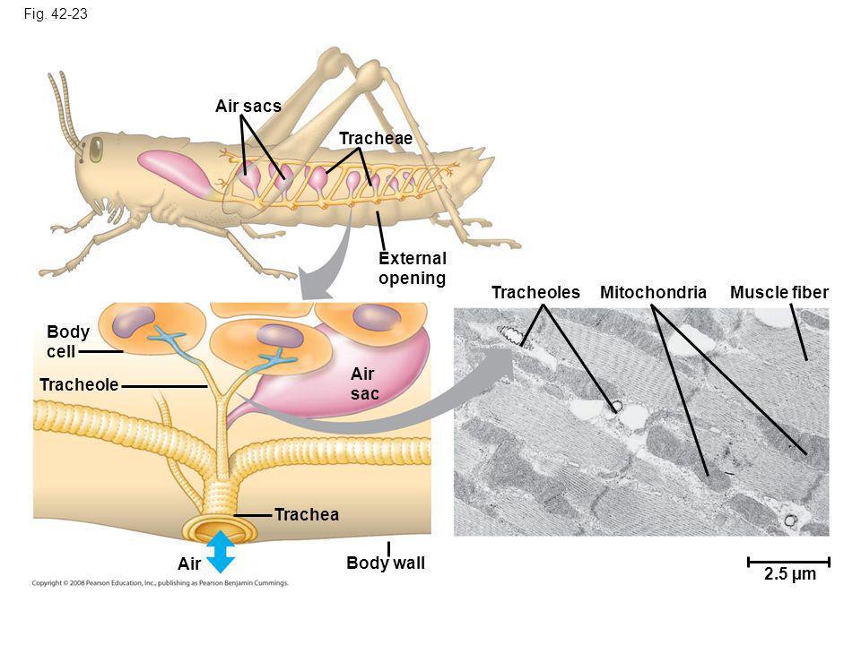 Fig. 42-23 Air sacs Tracheae External opening Body cell Air sac Tracheole TracheolesMitochondriaMuscle fiber 2.5 µm Body wall Trachea Air