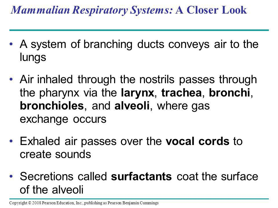 Copyright © 2008 Pearson Education, Inc., publishing as Pearson Benjamin Cummings Mammalian Respiratory Systems: A Closer Look A system of branching ducts conveys air to the lungs Air inhaled through the nostrils passes through the pharynx via the larynx, trachea, bronchi, bronchioles, and alveoli, where gas exchange occurs Exhaled air passes over the vocal cords to create sounds Secretions called surfactants coat the surface of the alveoli