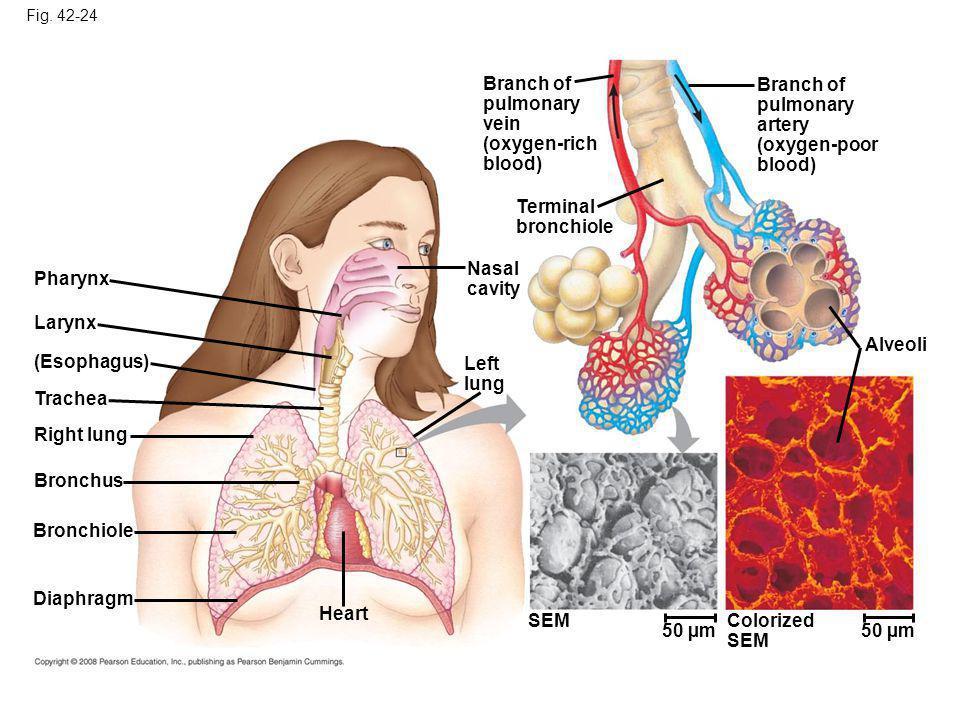 Fig. 42-24 Pharynx Larynx (Esophagus) Trachea Right lung Bronchus Bronchiole Diaphragm Heart SEM Left lung Nasal cavity Terminal bronchiole Branch of