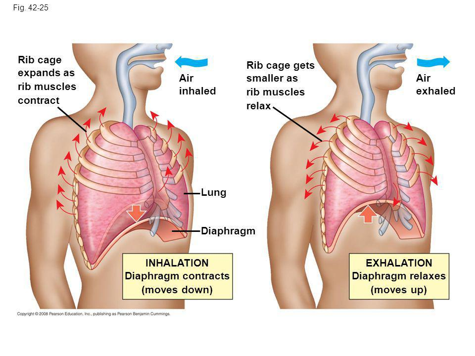 Fig. 42-25 Lung Diaphragm Air inhaled Rib cage expands as rib muscles contract Rib cage gets smaller as rib muscles relax Air exhaled EXHALATION Diaph