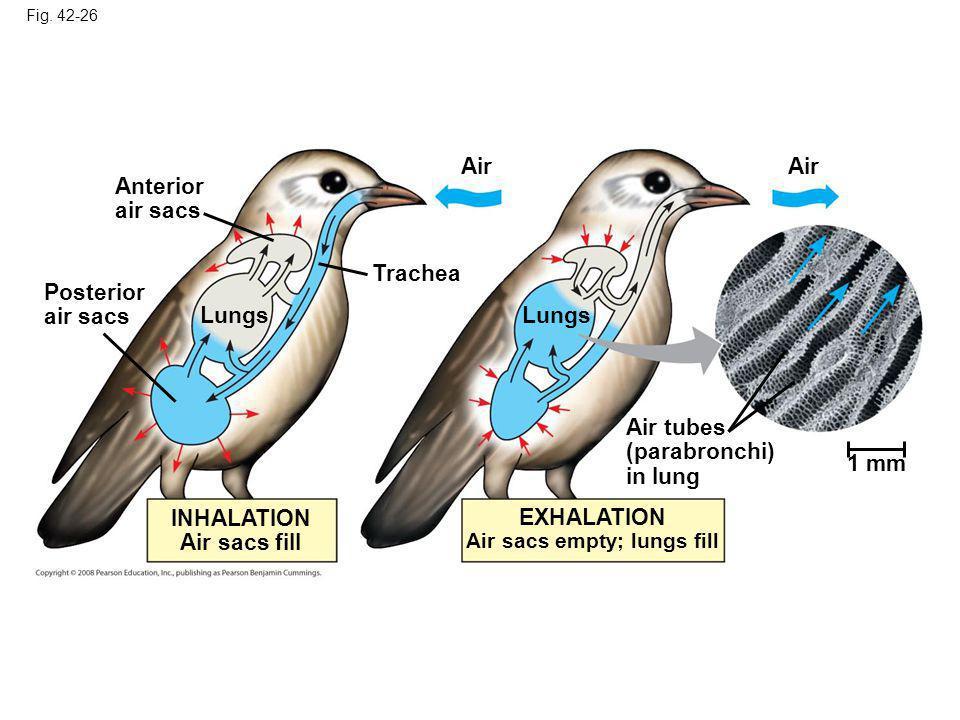 Fig. 42-26 Anterior air sacs Posterior air sacs Lungs Air Lungs Air 1 mm Trachea Air tubes (parabronchi) in lung EXHALATION Air sacs empty; lungs fill