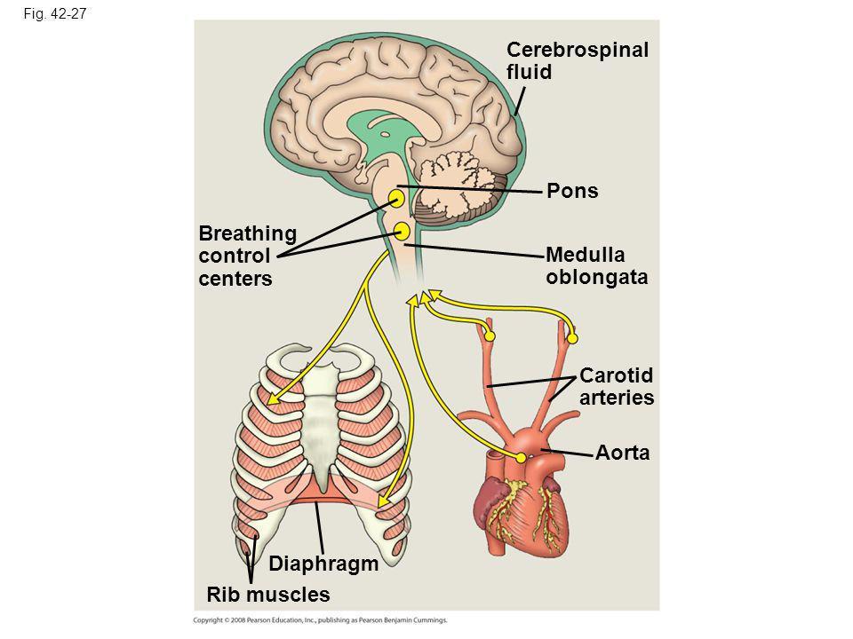 Fig. 42-27 Breathing control centers Cerebrospinal fluid Pons Medulla oblongata Carotid arteries Aorta Diaphragm Rib muscles
