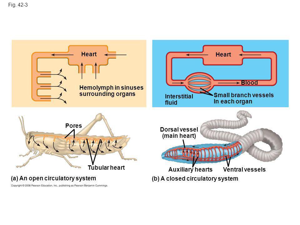 Fig. 42-3 Heart Hemolymph in sinuses surrounding organs Heart Interstitial fluid Small branch vessels In each organ Blood Dorsal vessel (main heart) A