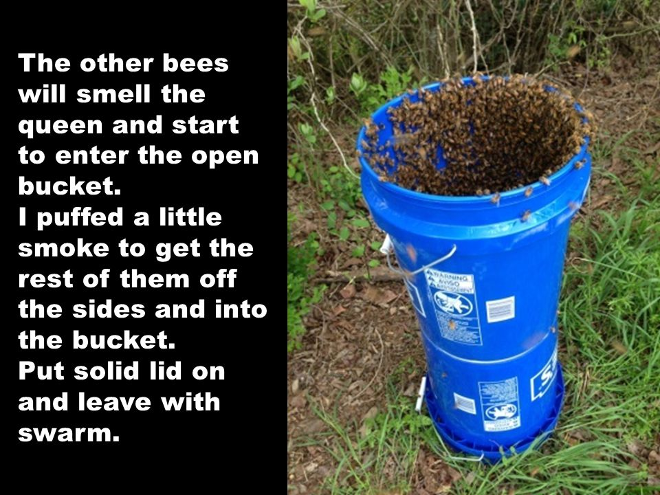 The other bees will smell the queen and start to enter the open bucket. I puffed a little smoke to get the rest of them off the sides and into the buc