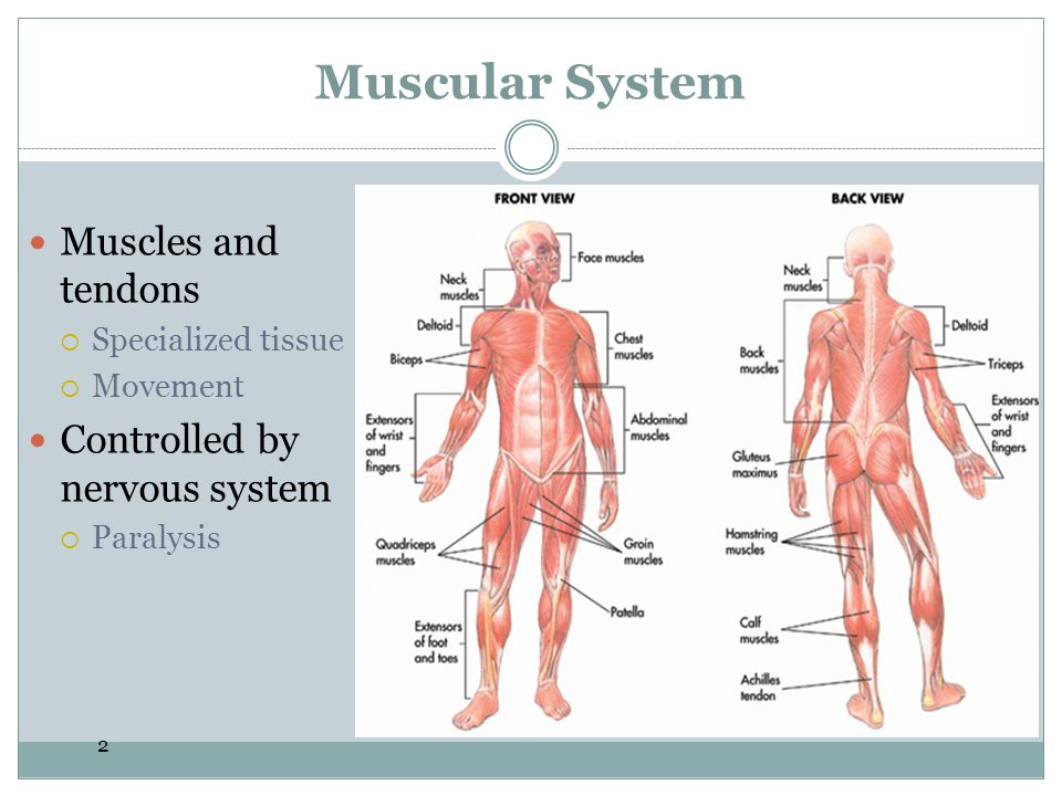 2 Muscular System Muscles and tendons Specialized tissue Movement Controlled by nervous system Paralysis