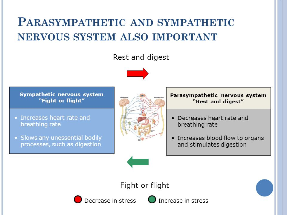 P ARASYMPATHETIC AND SYMPATHETIC NERVOUS SYSTEM ALSO IMPORTANT Increases heart rate and breathing rate Slows any unessential bodily processes, such as digestion Sympathetic nervous system Fight or flight Decreases heart rate and breathing rate Increases blood flow to organs and stimulates digestion Parasympathetic nervous system Rest and digest Increase in stressDecrease in stress Rest and digest Fight or flight Decreases heart rate and breathing rate Increases blood flow to organs and stimulates digestion Parasympathetic nervous system Rest and digest