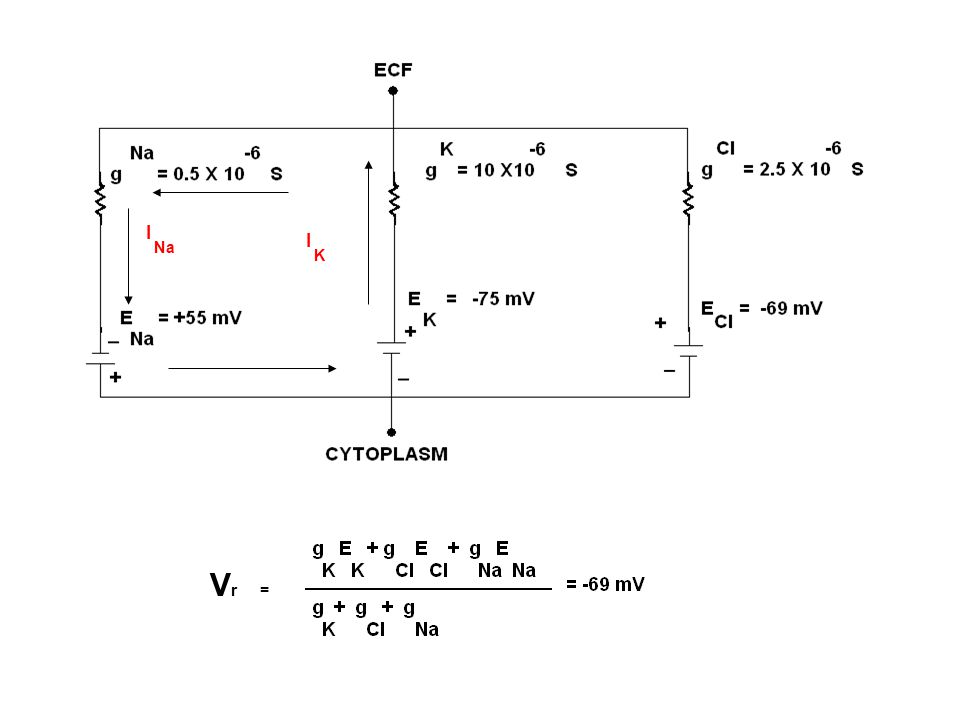 ELECTRICAL EQUIVALENT CIRCUIT Conductance = 1 / ohm R Unit expressed as S = Siemens Ohms Law V=IR => I =V/R => I = V g Na= n Na X a g K = n K X g Cl= n Cl X Cl