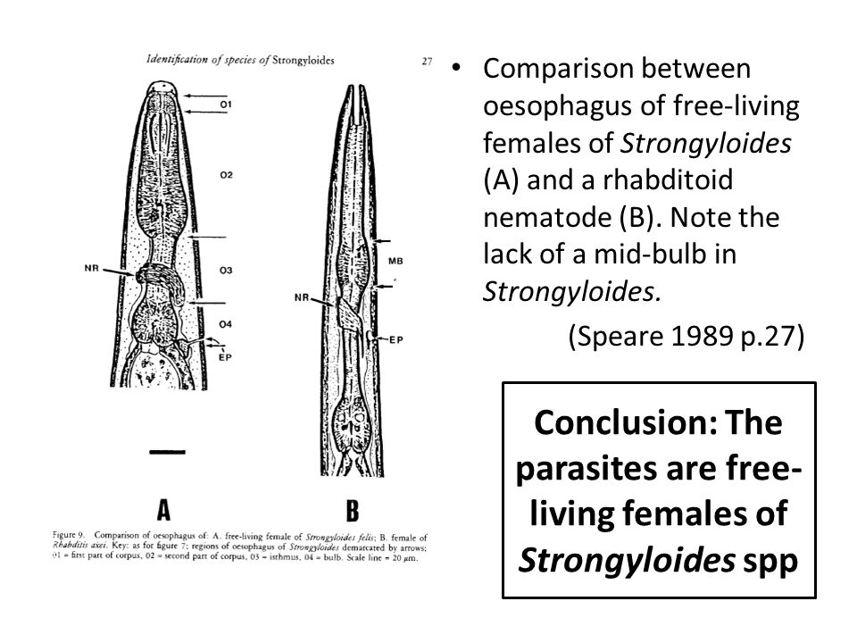 Conclusion: The parasites are free- living females of Strongyloides spp Comparison between oesophagus of free-living females of Strongyloides (A) and