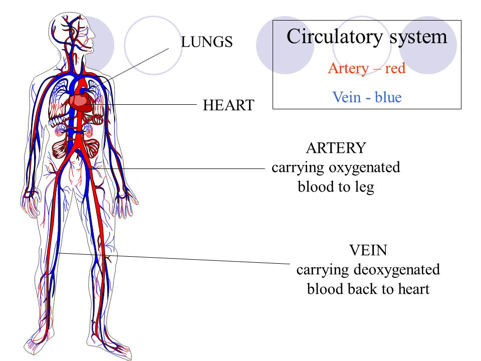 VEINS Carry blood towards the heart Thin walls with little muscle Wide central tube Have valves stop the blood flowing backwards