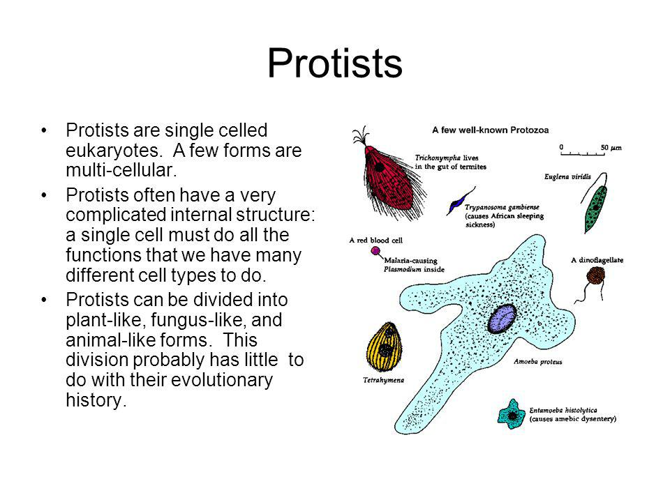 Protists Protists are single celled eukaryotes. A few forms are multi-cellular. Protists often have a very complicated internal structure: a single ce