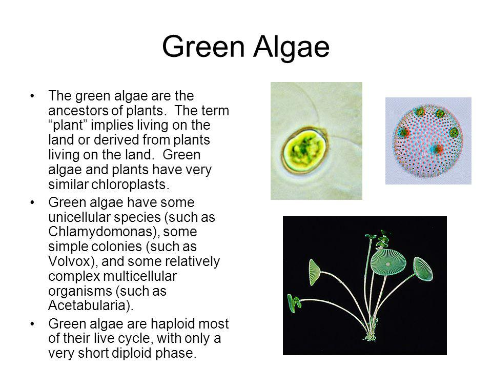 Green Algae The green algae are the ancestors of plants. The term plant implies living on the land or derived from plants living on the land. Green al