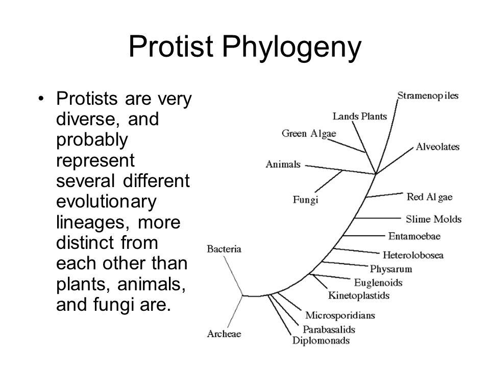 Protist Phylogeny Protists are very diverse, and probably represent several different evolutionary lineages, more distinct from each other than plants