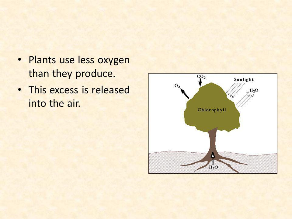 Plants use less oxygen than they produce. This excess is released into the air.