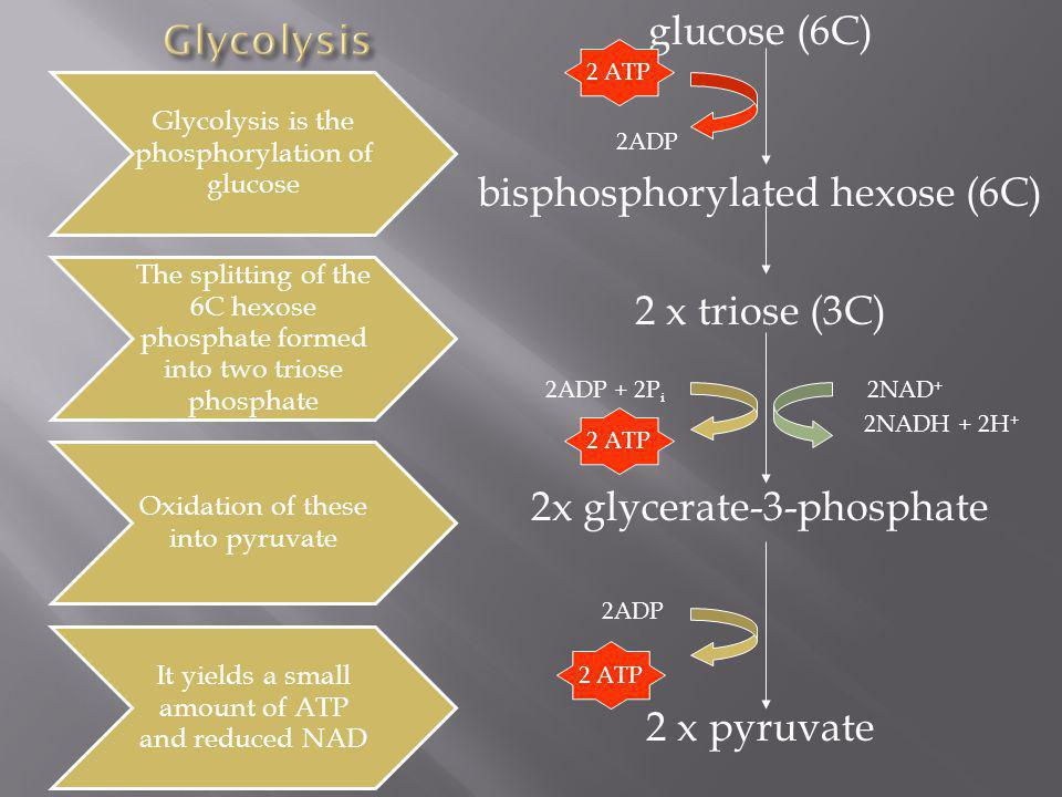 glucose (6C) 2ADP bisphosphorylated hexose (6C) 2 x triose (3C) 2ADP + 2P i 2NAD + 2NADH + 2H + 2x glycerate-3-phosphate 2ADP 2 x pyruvate 2 ATP Glyco