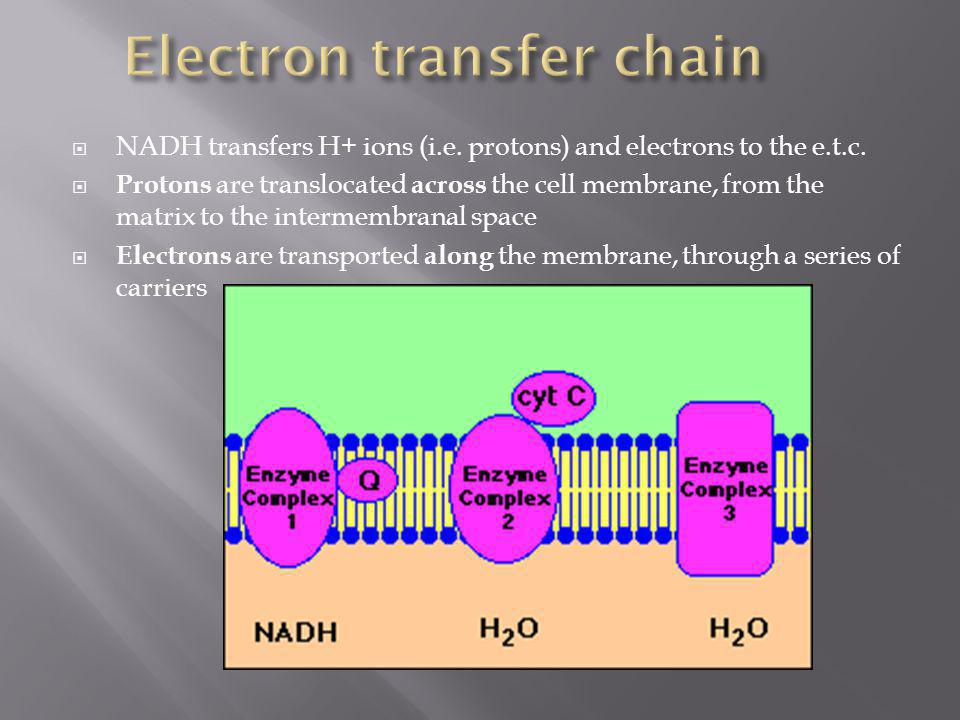 NADH transfers H+ ions (i.e. protons) and electrons to the e.t.c. Protons are translocated across the cell membrane, from the matrix to the intermembr