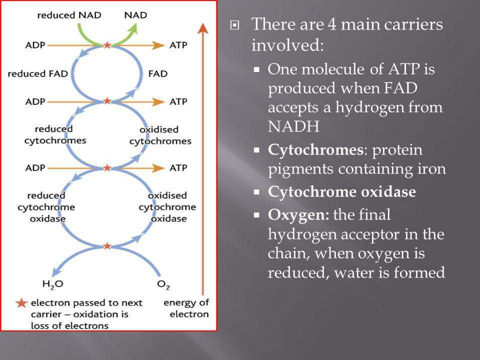 There are 4 main carriers involved: One molecule of ATP is produced when FAD accepts a hydrogen from NADH Cytochromes : protein pigments containing ir
