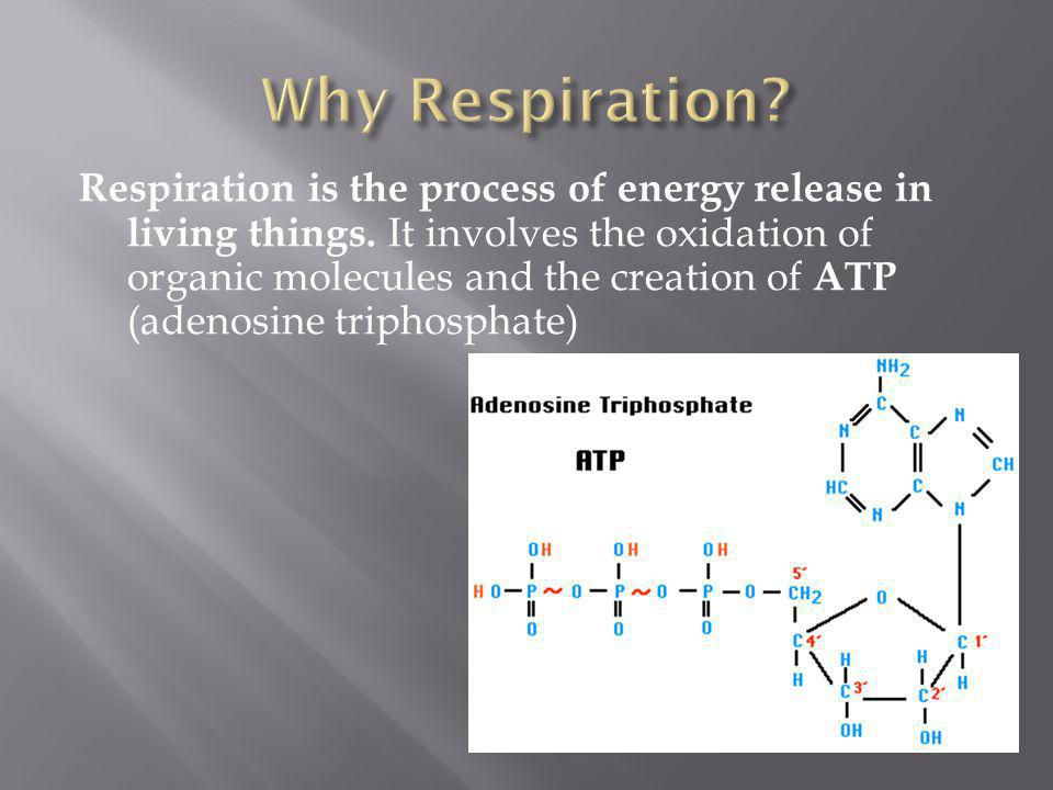 Respiration is the process of energy release in living things. It involves the oxidation of organic molecules and the creation of ATP (adenosine triph