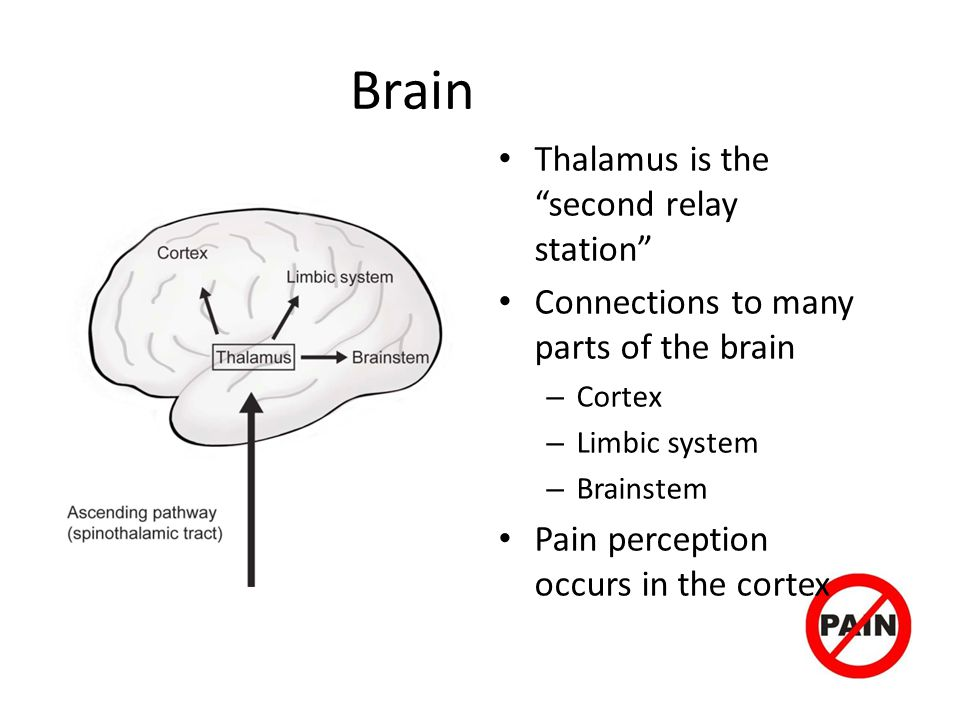 Brain Thalamus is the second relay station Connections to many parts of the brain – Cortex – Limbic system – Brainstem Pain perception occurs in the cortex