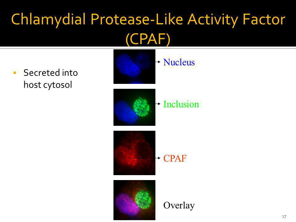 Chlamydial Protease-Like Activity Factor (CPAF) Nucleus Inclusion CPAF Overlay Secreted into host cytosol 17