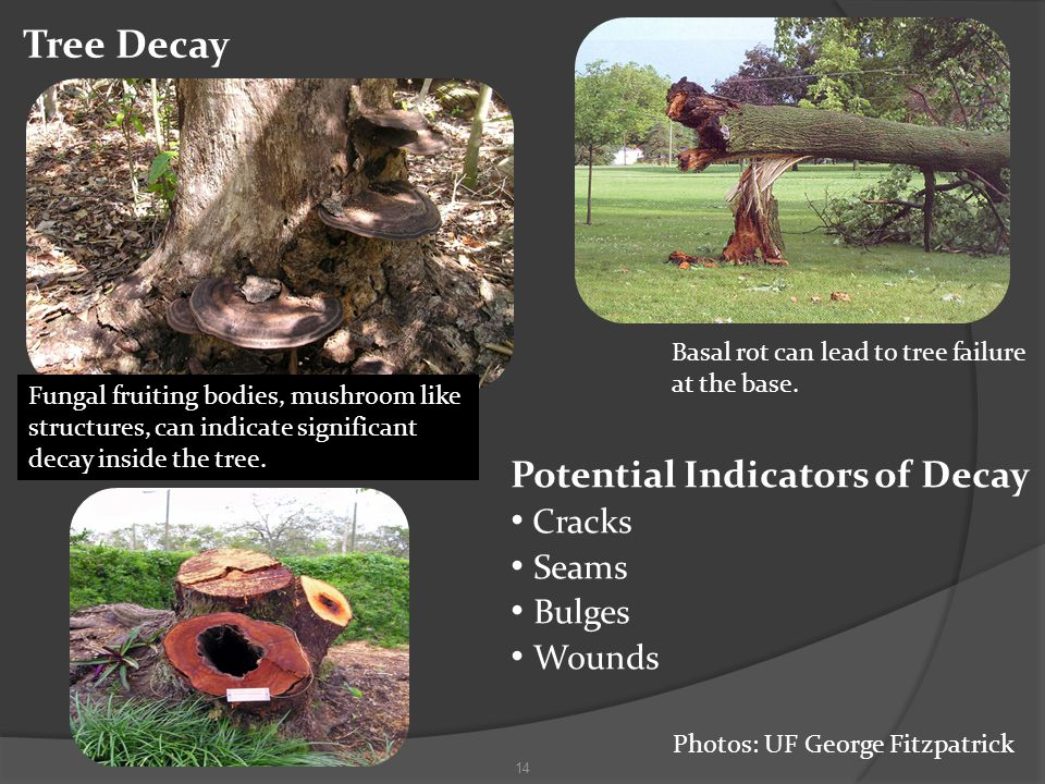 Tree Decay 14 Fungal fruiting bodies, mushroom like structures, can indicate significant decay inside the tree.
