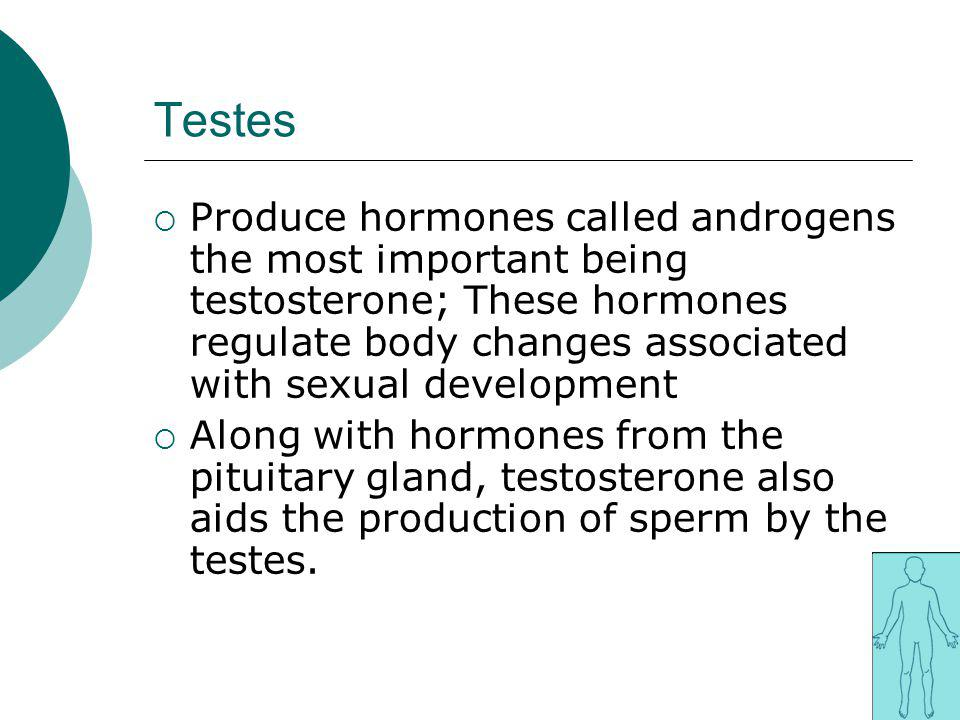 Testes Produce hormones called androgens the most important being testosterone; These hormones regulate body changes associated with sexual developmen