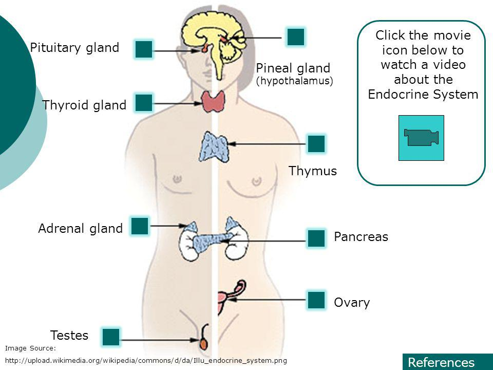 Pineal gland (hypothalamus) Pituitary gland Thyroid gland Thymus Adrenal gland Pancreas Ovary Testes Image Source: http://upload.wikimedia.org/wikiped