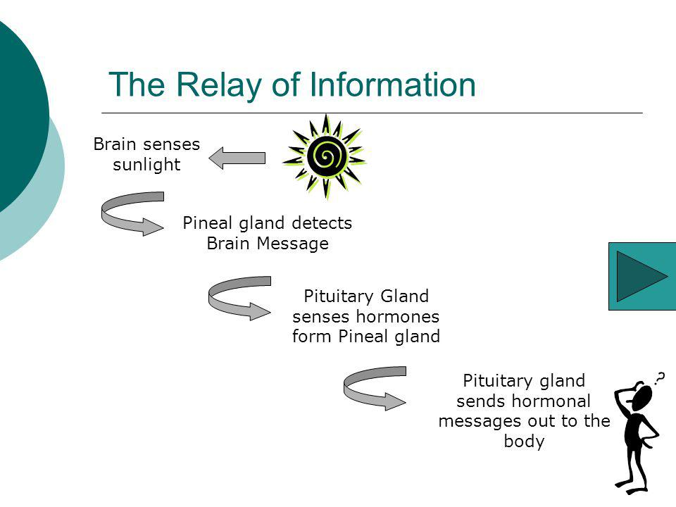 The Relay of Information Pituitary gland sends hormonal messages out to the body Pituitary Gland senses hormones form Pineal gland Brain senses sunlig