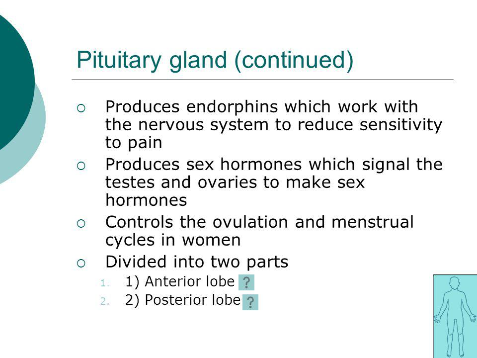 Pituitary gland (continued) Produces endorphins which work with the nervous system to reduce sensitivity to pain Produces sex hormones which signal th