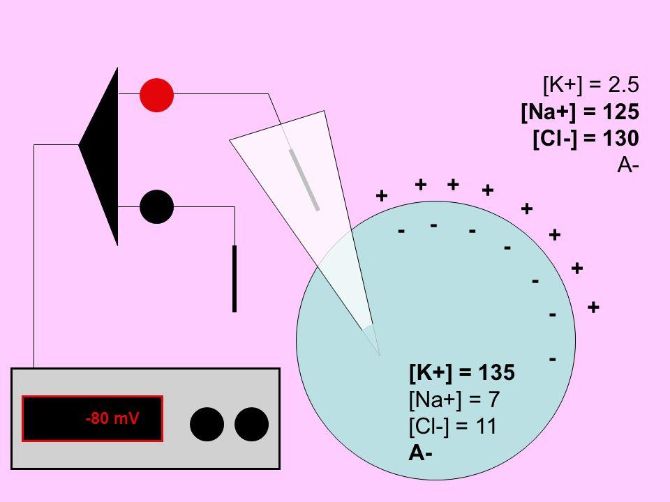 [K+] = 135 [Na+] = 7 [Cl-] = 11 A- [K+] = 2.5 [Na+] = 125 [Cl-] = 130 A- ++ + + + + + - - - - - - - +