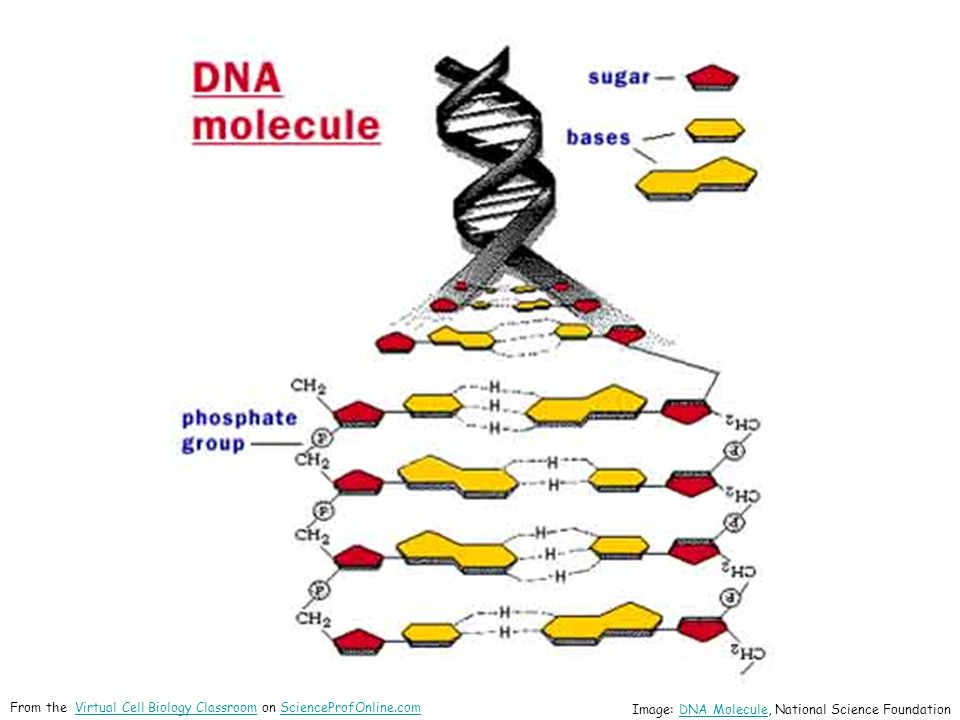 Image: DNA Molecule, National Science FoundationDNA Molecule From the Virtual Cell Biology Classroom on ScienceProfOnline.comVirtual Cell Biology ClassroomScienceProfOnline.com