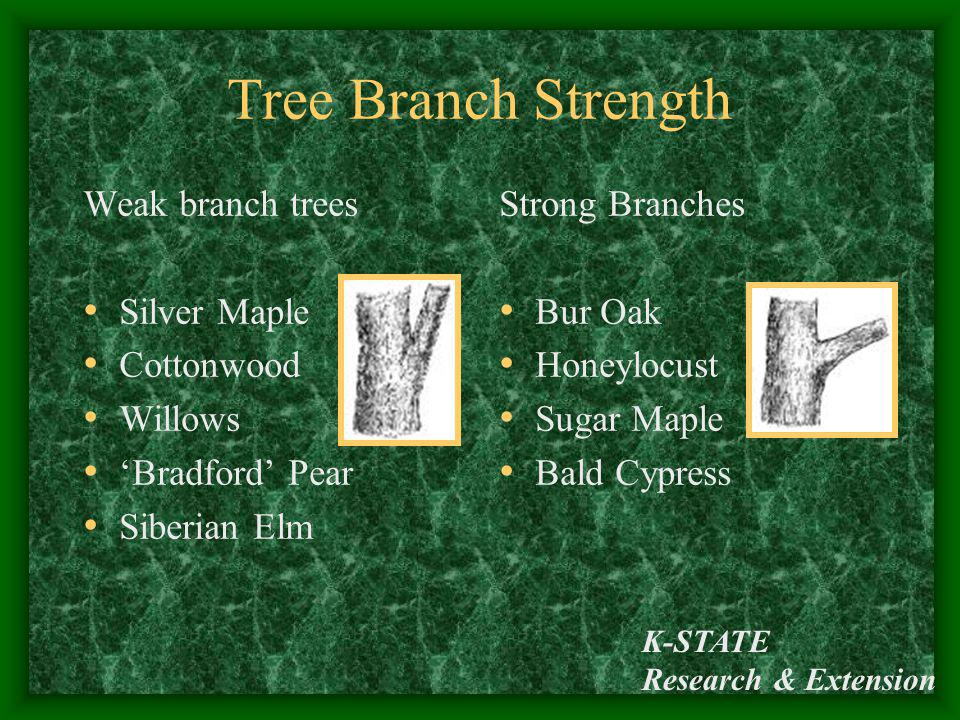 K-STATE Research & Extension Tree Branch Strength Weak branch trees Silver Maple Cottonwood Willows Bradford Pear Siberian Elm Strong Branches Bur Oak